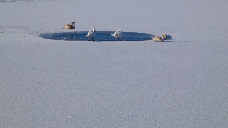 Schwäne im Eis eingeschlossen